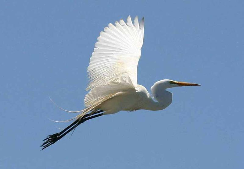 Great egret flying over Morro Bay
