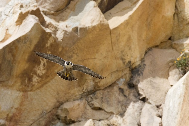 Photo of peregrine falcon in flight near Morro Rock by Kevin Cole