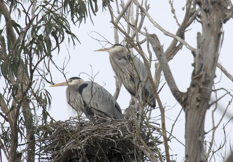 Great Blue Heron pair on nest in Morro Bay