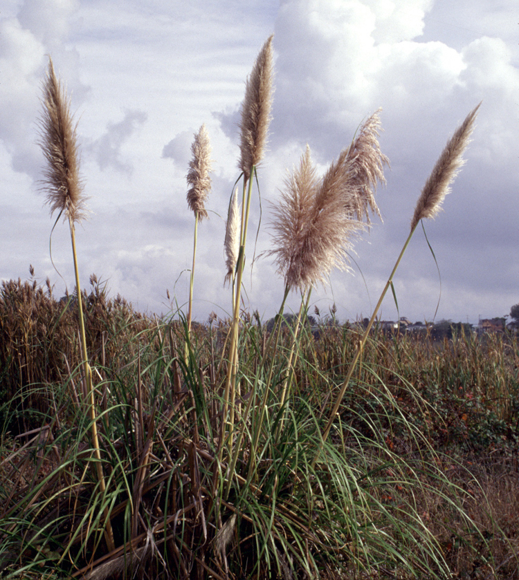 Jubata Grass (Cortaderia jubata), is highly invasive. Using a native ornamental grass in landscaping is a much better choice. Photo by Gordon Leppig & Andrea J. Pickart.