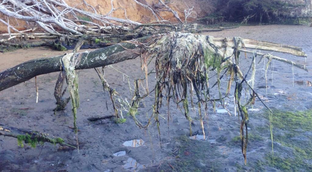 Eelgrass wrack