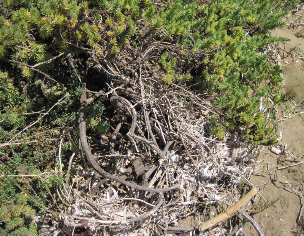 Seablite grows near eelgrass wrack at Windy Cove.