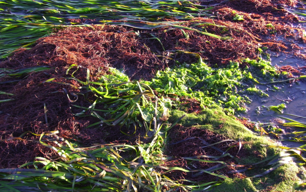 Algae is more efficient at utilizing excess nutrients, which can result in a bloom. Algae can crowd out more valuable habitat types such as eelgrass. Pictured here is an eelgrass bed (the long blades) interspersed with red algae and green algae, also known as sea lettuce.
