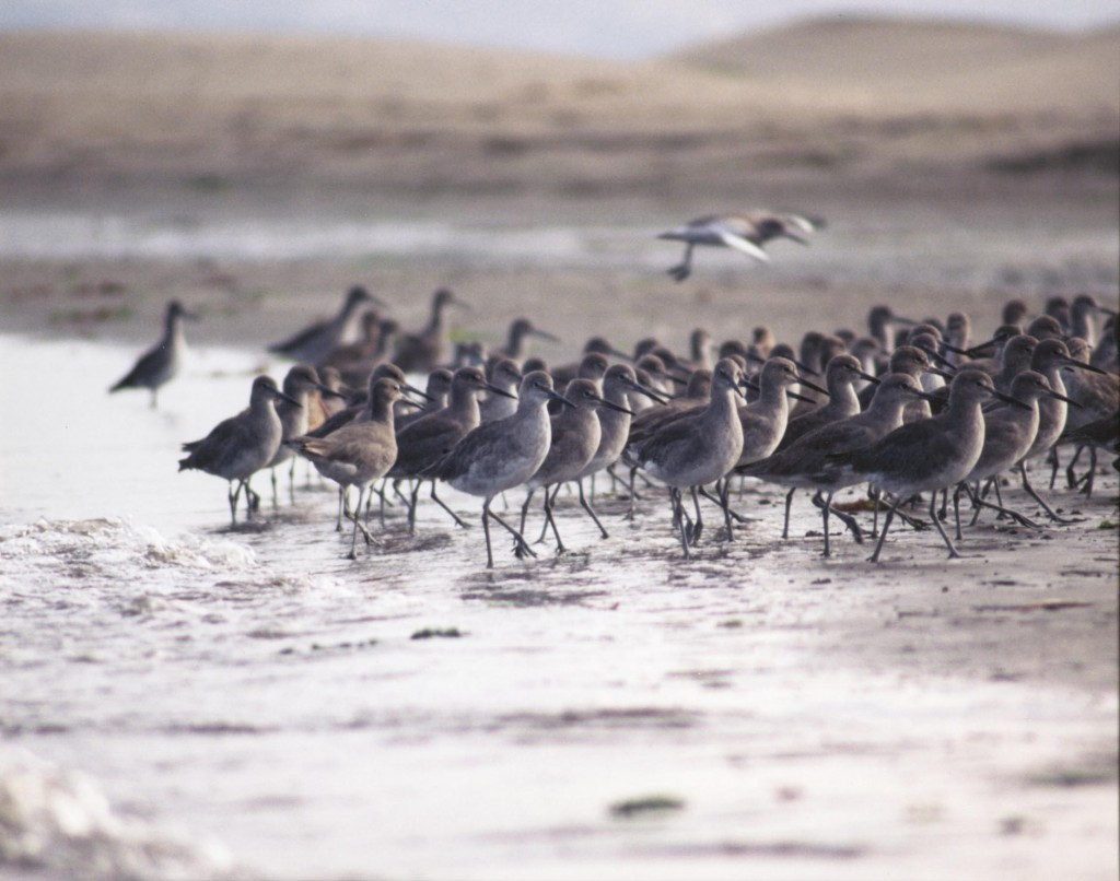 Willets walk along the mudflat. Photograph courtesy of Ruth Ann Angus.