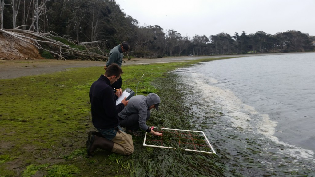 Shane, Monitoring Coordinator, Evan, Field Technician, and Erin, Cal Poly Grad student look at the density of eelgrass at Windy Cove.