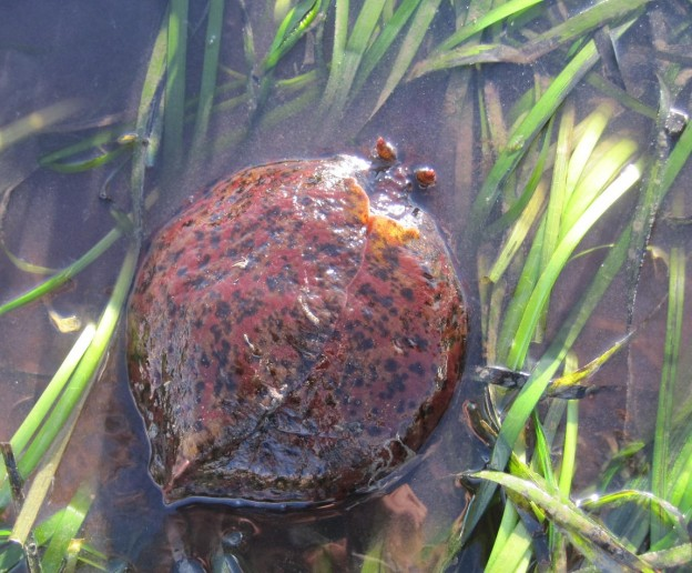 Estuary Program staff found this sea hare in an eelgrass bed near Coleman beach.
