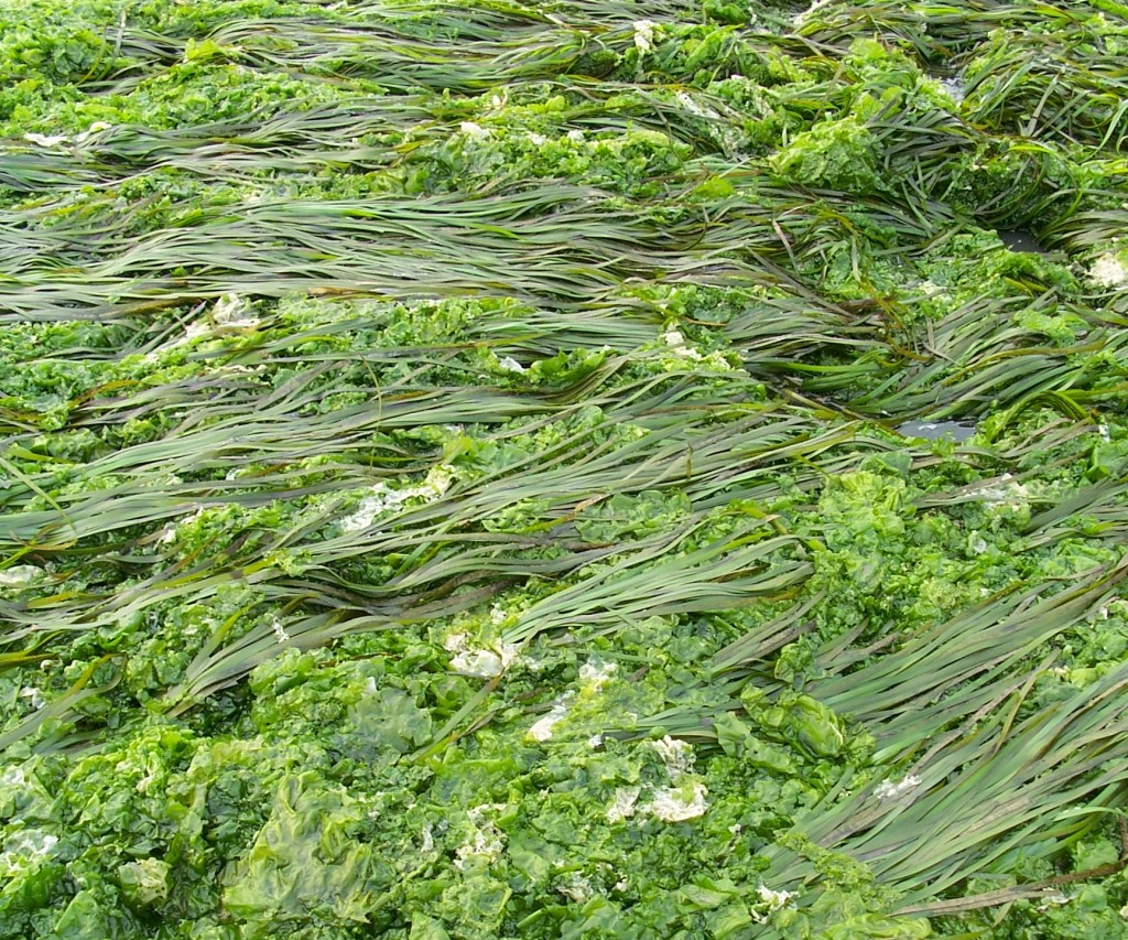 Sea hares can feed on sea lettuce, or Ulva, which grows in Morro Bay.