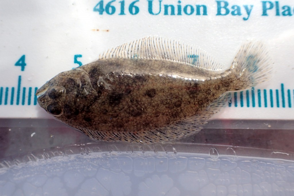 Here is a specked Sanddab (Citharichthys stigmaeus). We caught a lot of these.