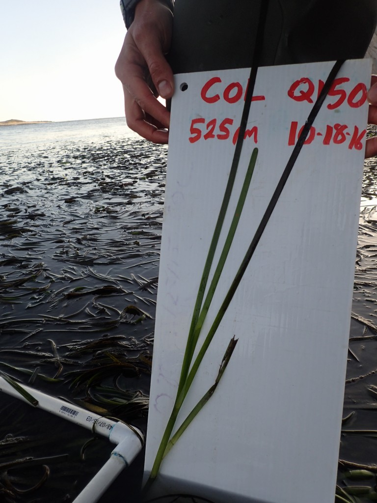All of the blades on an eelgrass stipe are carefully spread out so that we can measure and photograph them.