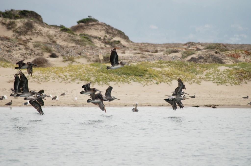 Brown pelicans are often found fishing in the Morro Bay estuary.