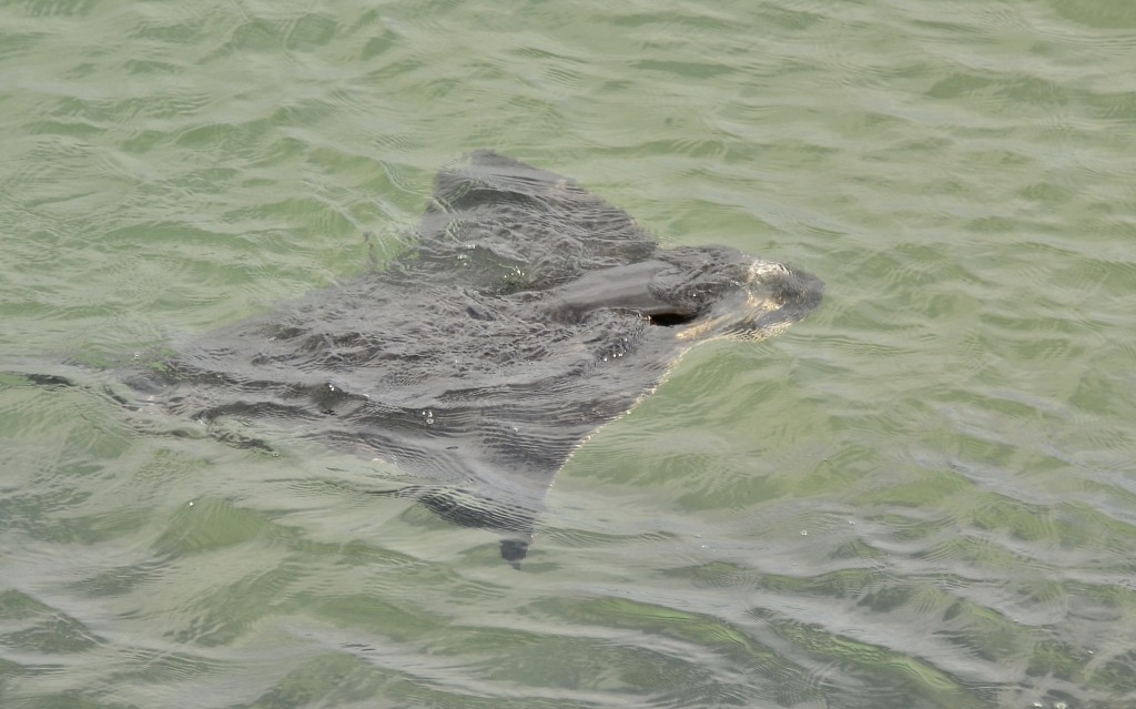 This bat ray was photographed by Linda Tanner near Target Rock.