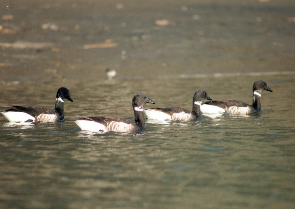 Brant geese. Photograph courtesy of Ruth Ann Angus.