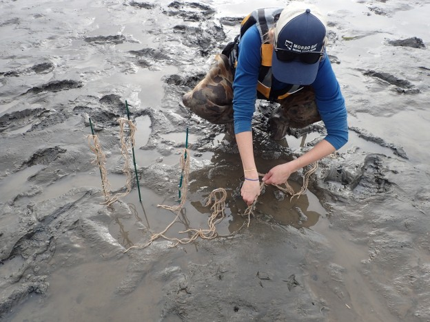 Carolyn does a test planting using bamboo garden stakes as an anchor and twine to mimic eelgrass.