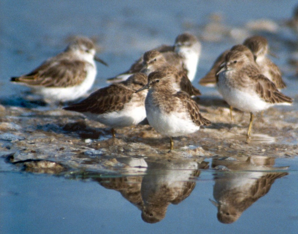 A group of least sandpipers. Photograph courtesy of Ruth Ann Angus.