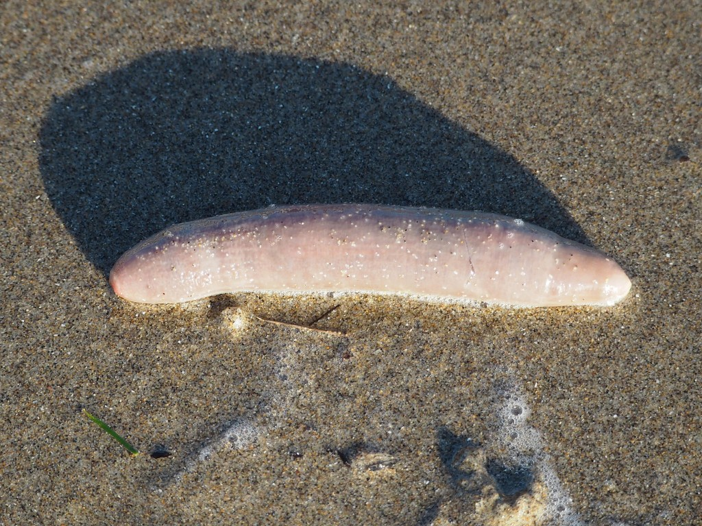 Fat innkeeper worm. Photograph by J. Maughn, via Flickr.