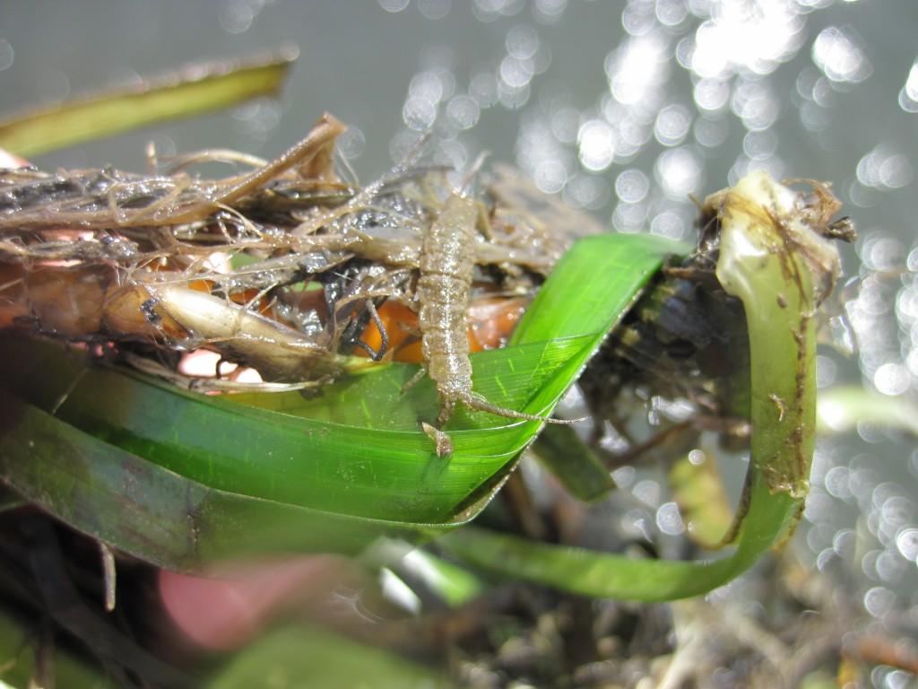 Eelgrass isopod (Idotea resecata).