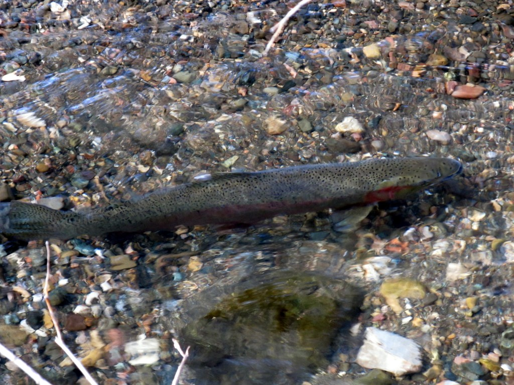 An adult steelhead swims in a creek.