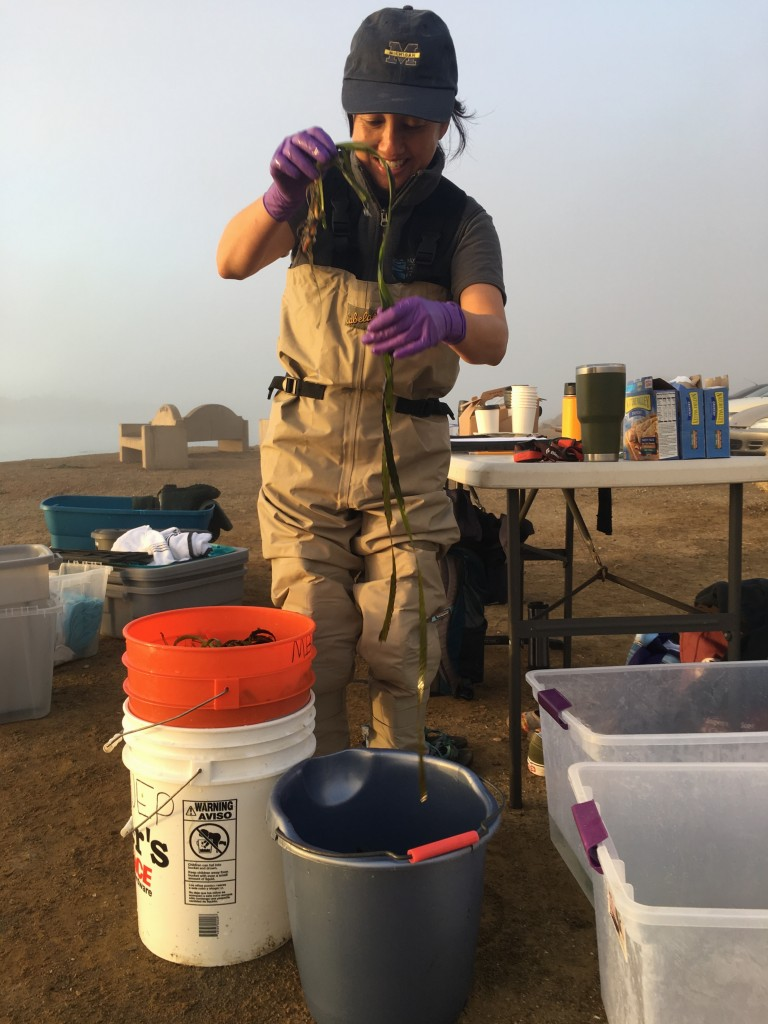 Ann Kitajima, Assistant Director, counted the eelgrass and sorted it into buckets as the sky was lightening.