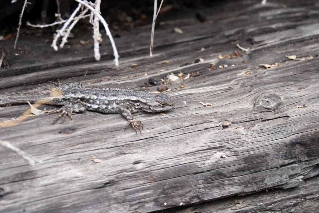 We even saw a Western fence lizard (commonly called a blue belly lizard). See this article from PG&E's Meteorologist, John Lindsey, about how these lizards may eliminate Lyme disease from certain ticks.