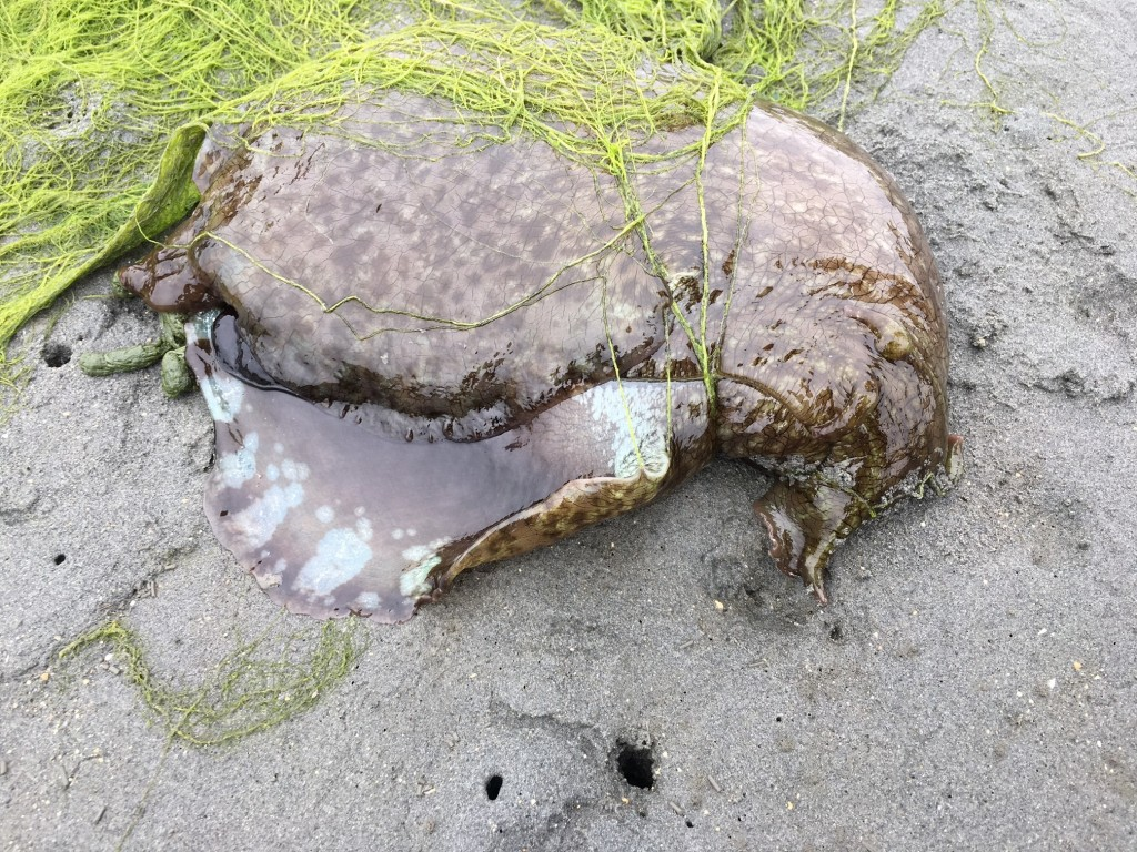 This California Sea Hare waits on the mud flat for the tide to come in.