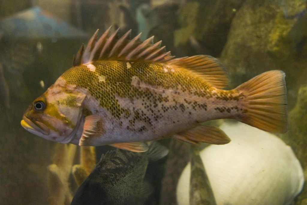 This is an adult copper rockfish. Photograph courtesy of Pat Kight, via Flickr.