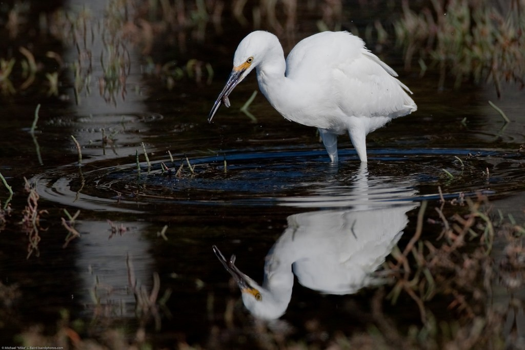 A snowy egret fishes for crab in the salt marsh during high tide.