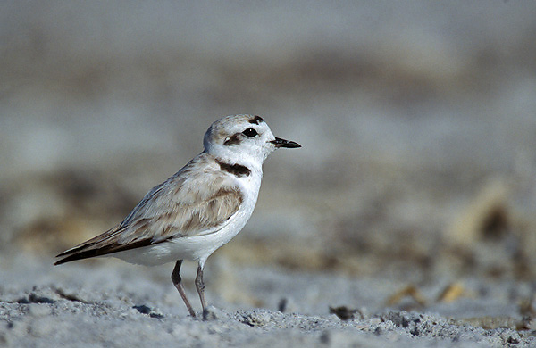 Western snowy plover. Photograph by Pacific Southwest Region Fish and Wildlife Service, via Flickr.