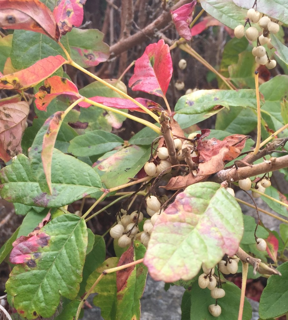 Poison oak berries are a food source for some wildlife.