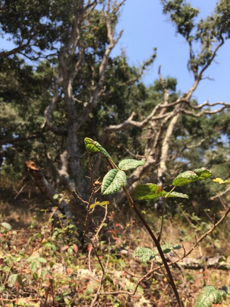 Poison oak is part of this Central Coast oak woodland.