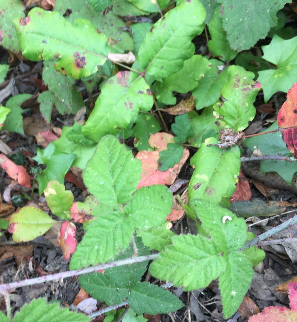 Here, poison oak behaves as a ground cover, sharing its niche with a blackberry vine (Rubus ursinus). Black berry brambles are often mistaken for poison oak. Can you tell them apart?  (Hint: If it's hairy, it's a berry