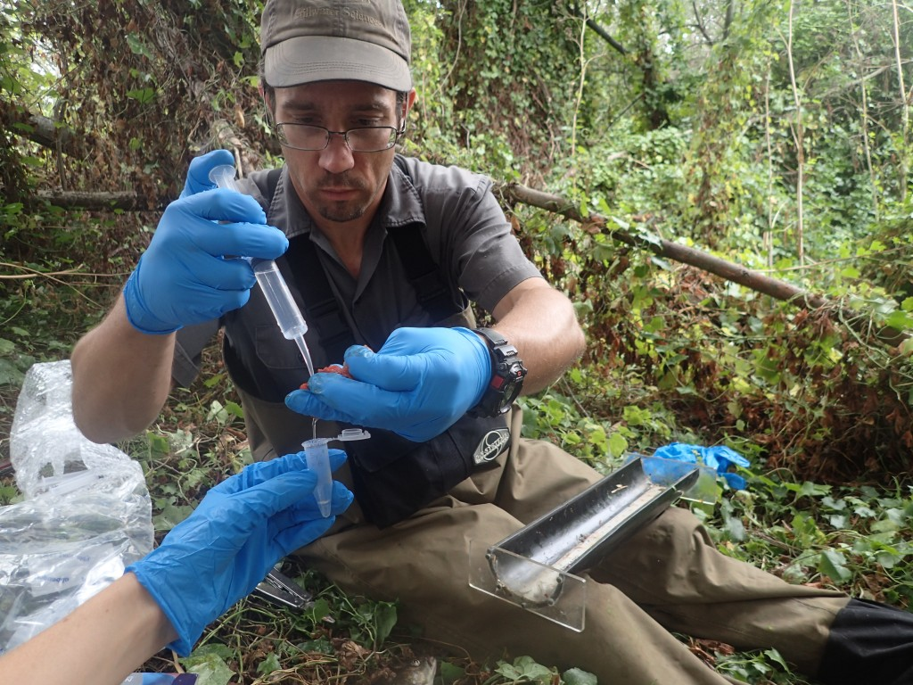 Ken Jarett of Stillwater Sciences collects a stomach sample to better understand the diet of pikeminnow.