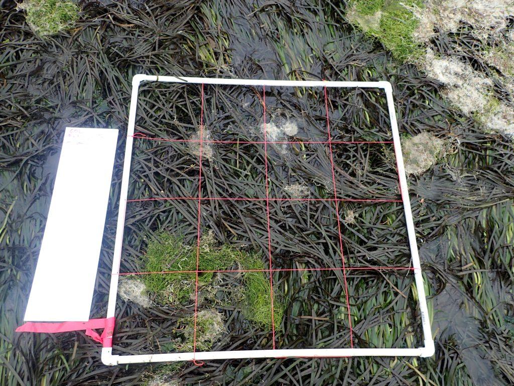 eelgrass quadrat with algae