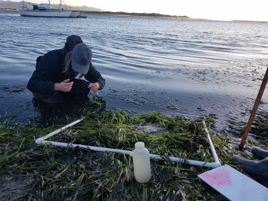 A volunteer checks each blade on an eelgrass shoot for epiphytes and epifauna.