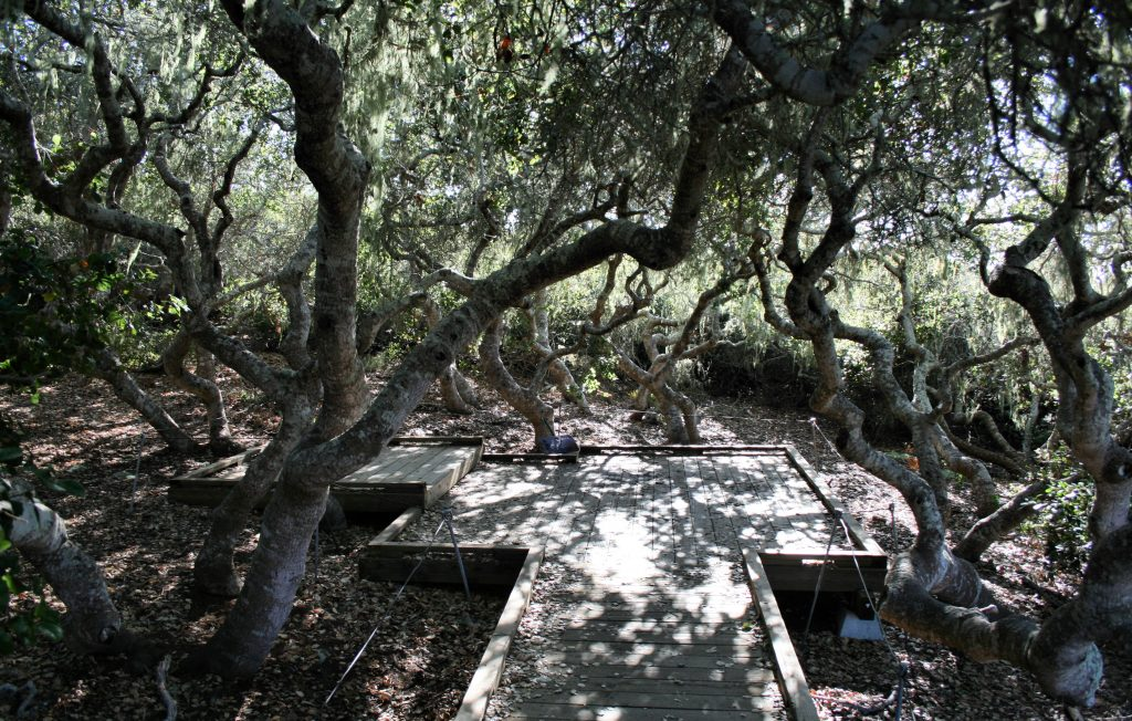 he Elfin Forest, a pygmy oak woodland community located in the Morro Bay Watershed. Photograph copyright Chris Jepsen, shared via Flickr with a Creative Commons license.