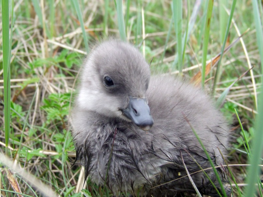 This Black Brant gosling was photographed in the Yukon Delta. Photograph courtesy of the Yukon Delta NWR.