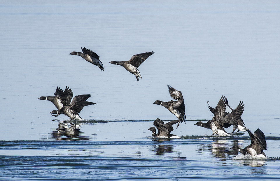 These Black Brant are landing in Morro Bay's waters, seeking rest and food. Photograph courtesy of Marlin Harms.