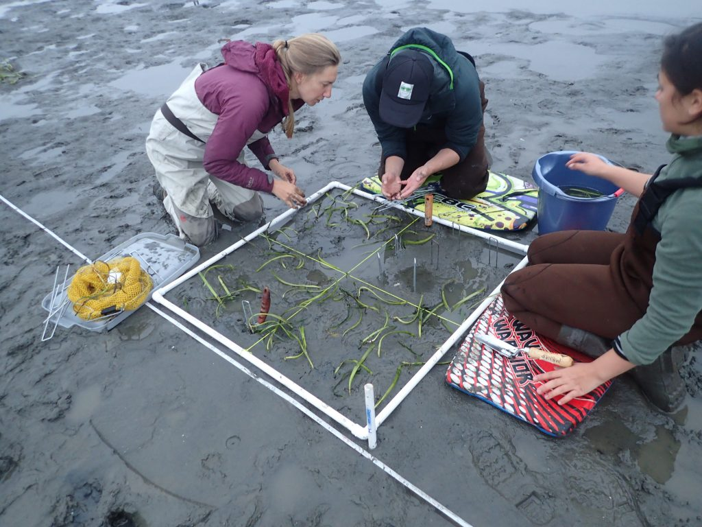 This photograph shows staff and volunteers, including Restoration Projects Manager Carolyn Geraghty (far left) transplanting eelgrass.