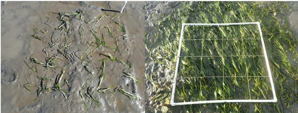 On the left is the eelgrass directly after we planted it. 72 rhizomes with about 100 shoots total. On the right is the plot after ten months with about 950 shoots!