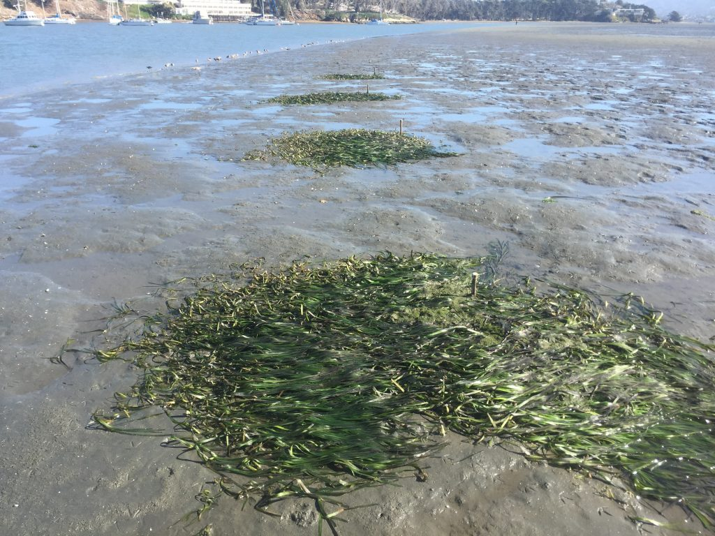 This photograph shows four of our plots from the March eelgrass planting effort.