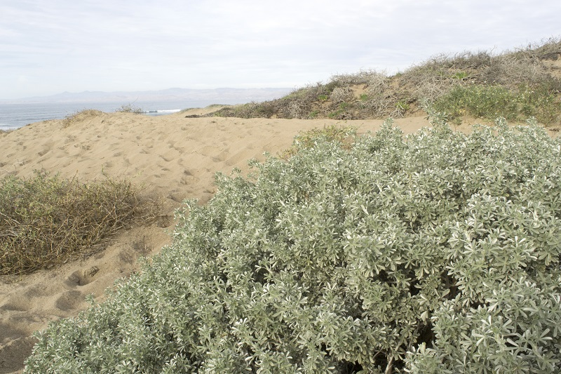 silver dune lupine