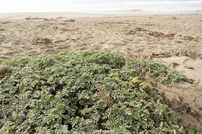 Beach bur (Ambrosia chamissonis)