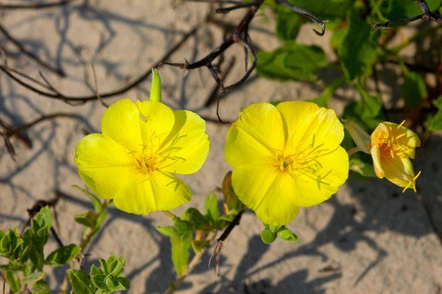 Beach evening primrose