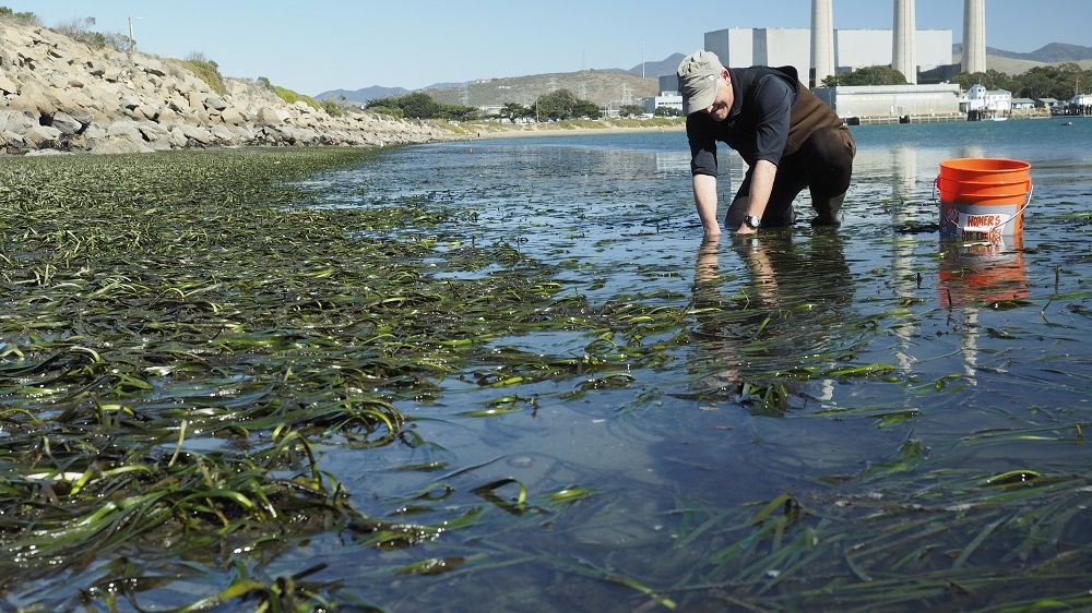 Marc Couacaud, Estuary Program Volunteer of the Year, helps harvest eelgrass from the healthy bed at Coleman beach. Estuary Program staff will later transplant it to another location in the bay.