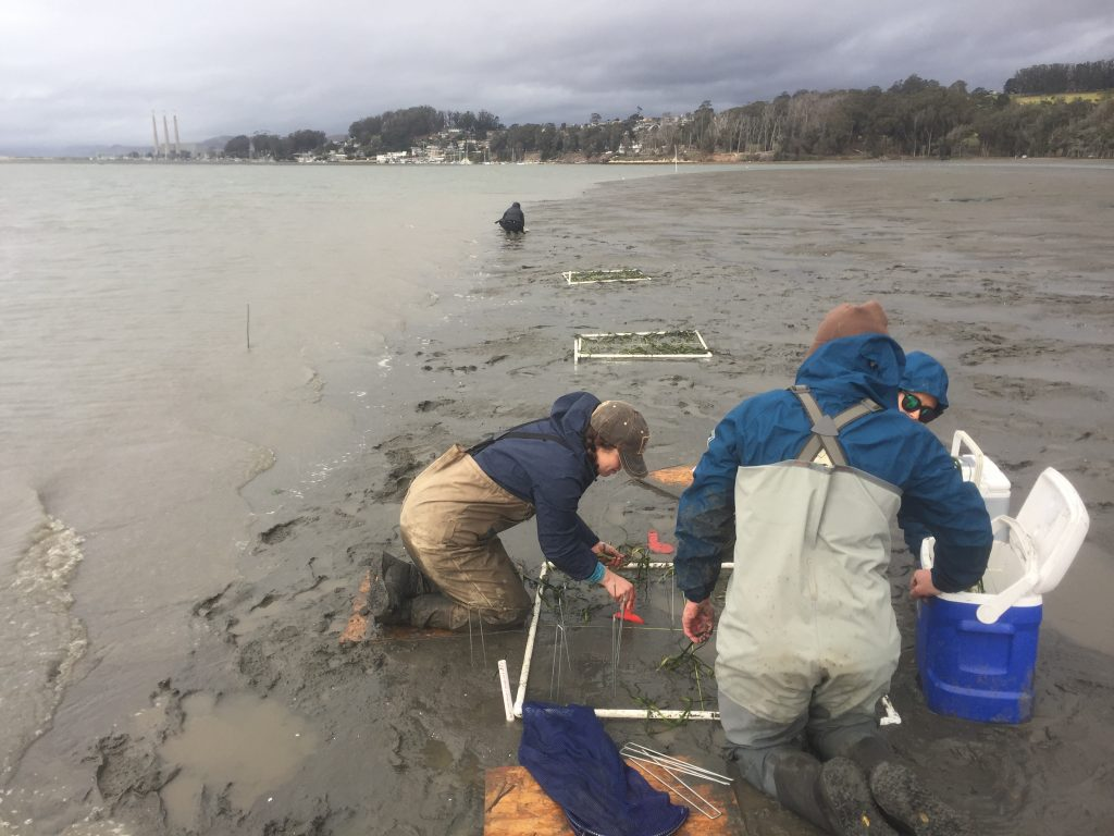 The transplanting crew works to plant the eelgrass before the tide comes back up and the rain starts again!