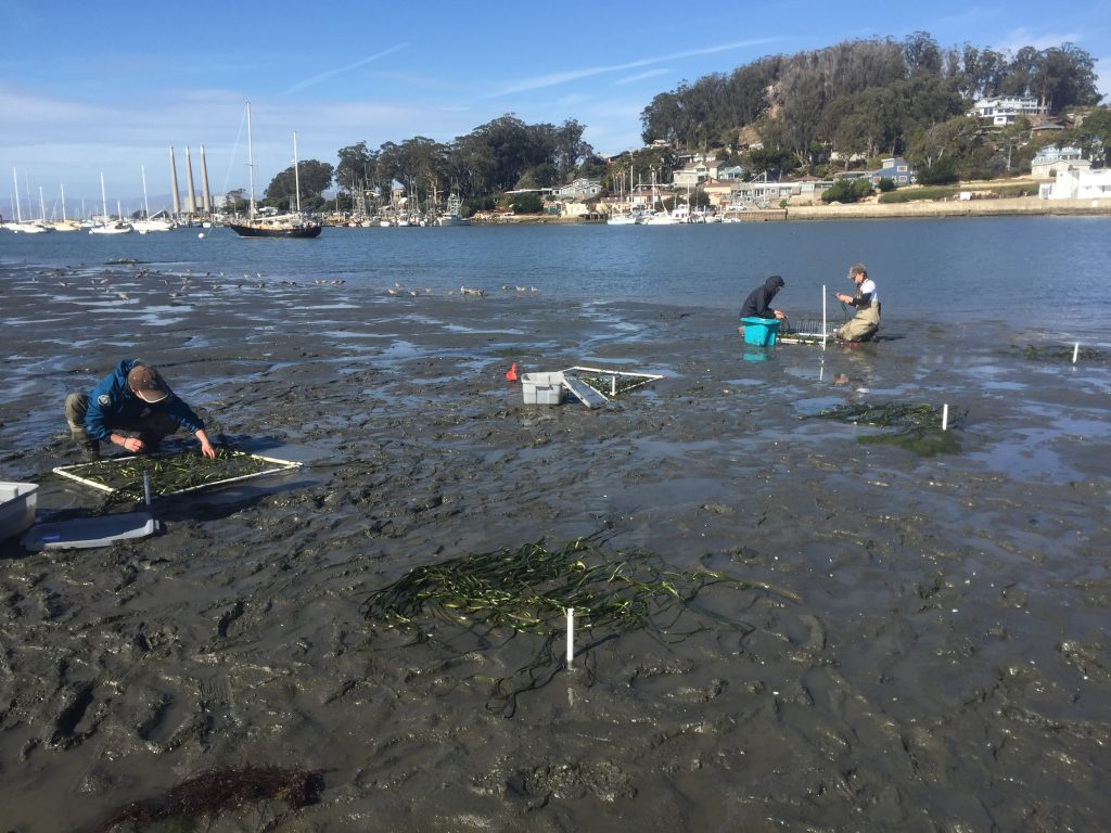 Volunteers work on planting eelgrass plots at three different depth gradients.