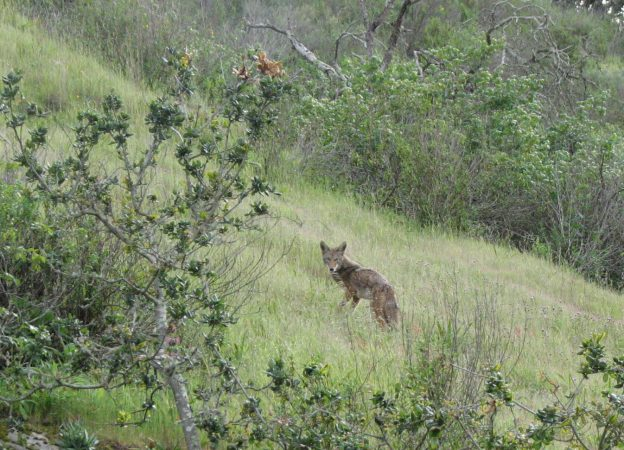 A coyote stands, alert, in a field at El Chorro Regional Park.