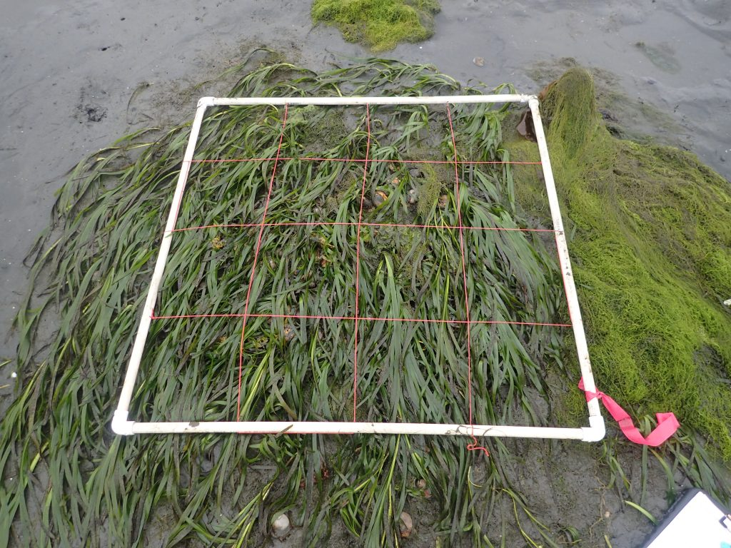 You can see that the eelgrass has expanded outside of the plot.