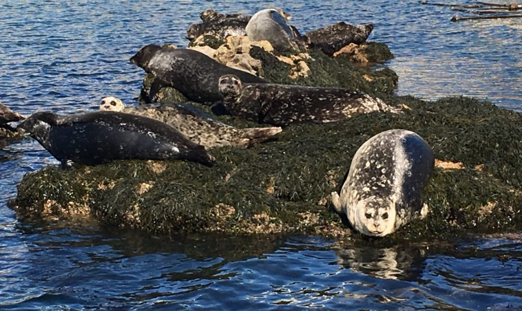 Harbor seals do not have ear flaps, while sea lions do. Harbor seals also have small front flippers, so they move on their bellies instead of propping themselves up as sea lions do.