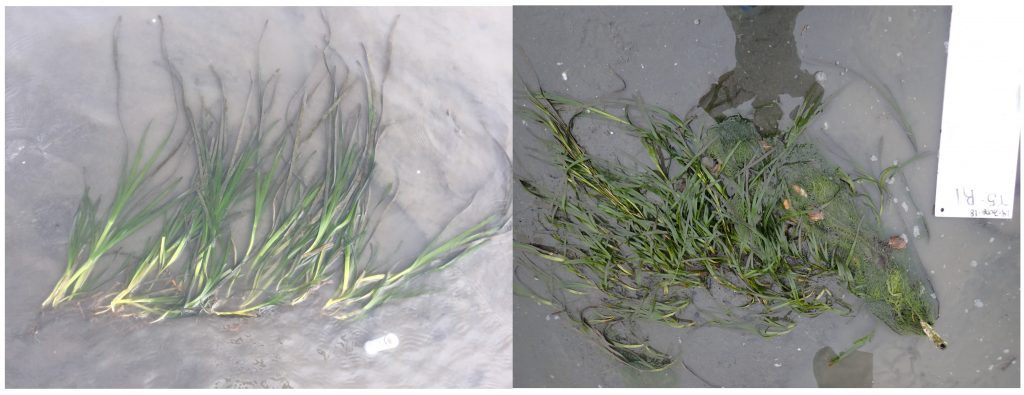 The photo on the left is right after the eelgrass planted. The photo on the right is three months later. The eelgrass has expanded past the rebar.