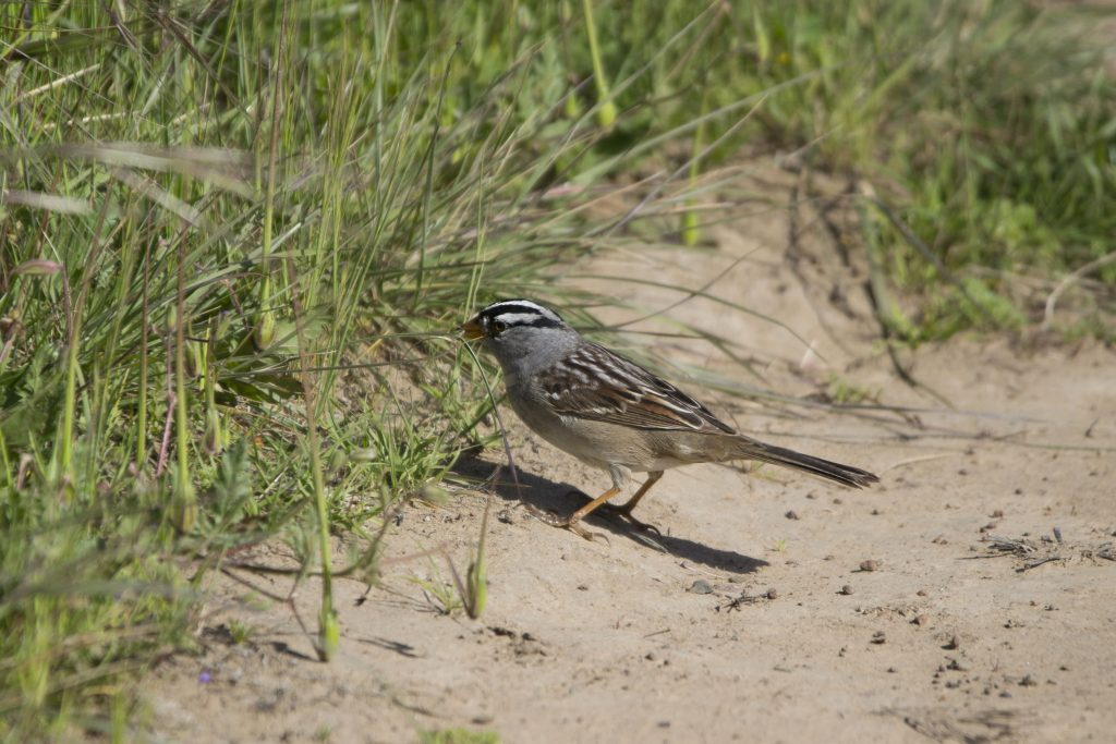 A white crowned sparrow stands at the break between open sand and vegetation.
